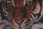 Pastel portrait of a Siberian Tiger